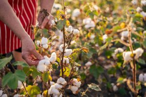 Farmer inspecting cotton